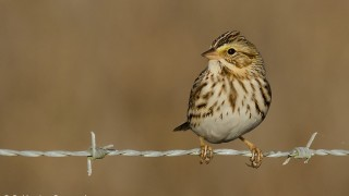 DSC0068-Savannah-Sparrow