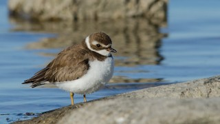 DSC0223-Semipalmated-Plover