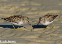 DSC0492-Least-Sandpipers