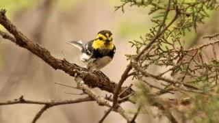 Golden-Cheeked-Warbler-Friedrich-Park-4-29-12-9-200PI