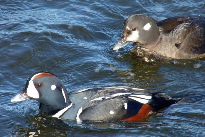 Harlequin Ducks at Barnegat Light, New Jersey, Hotspot Near You No. 77, by Charles Wen.