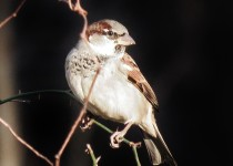 House-sparrow-backyard-6