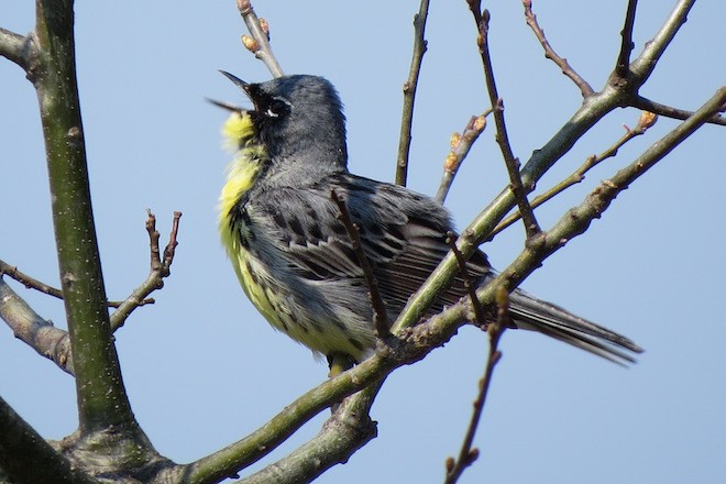 PIONEER NESTER: A Kirtland's Warbler sings in Marinette County, in northeastern Wisconsin, in late May 2015. Photo by Jack Swelstad.