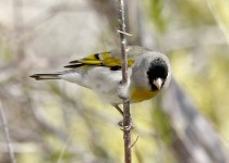 Lawrences-Goldfinch-Anza-Borrego-3-19-11-9-200PI