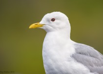 Mew-Gull
