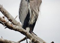 No.-4-Grayton-Beach-State-Park-Santa-Rosa-Florida-Great-Blue-Heron-1