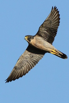 Peregrine Falcon in Van Nuys, California, October 7, 2011, by Alexander Viduetsky.