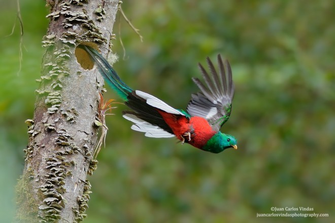 Resplendent Quetzal (Pharomachrus mocinno), Talamanca Mountains, Costa Rica, May 15, 2015, 10:48 a.m., by Juan Carlos Vindas