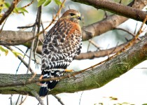 Red-Shouldered-Hawk-Ken-Malloy-12-13-13-1-200PI