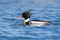 Red-breasted Merganser in Cleveland, Ohio, by Joshua Clark.