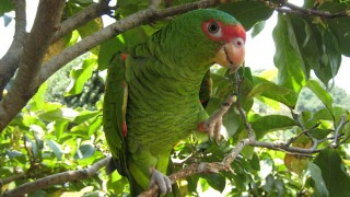Red-spectacled Amazon, a migratory parrot, receives little formal protection. Photo courtesy Hamadryades