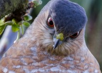 Sharpshinned_Hawk.Gary_G_Miller-1