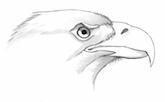 Bald Eagle by David Allen Sibley.