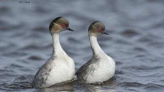 Silvery-Grebe-pair