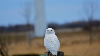 Snowy-Owl-on-Wolfe-Island