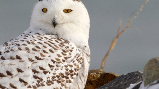 Snowy Owl in Rye, New Hampshire, February 2015, by Kim Caruso