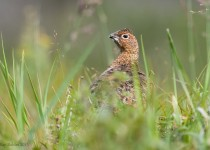 Willow-ptarmigan