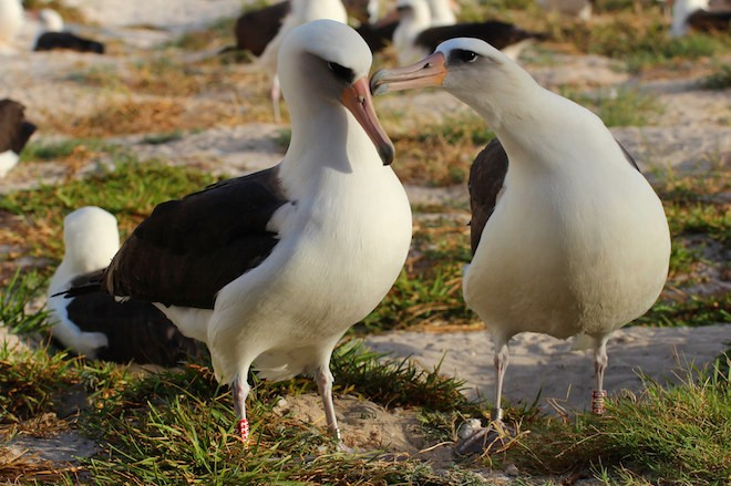 Wisdom (left) with her mate at Midway Atoll, November 21, 2015. Photo by Kiah Walker/USFWS.