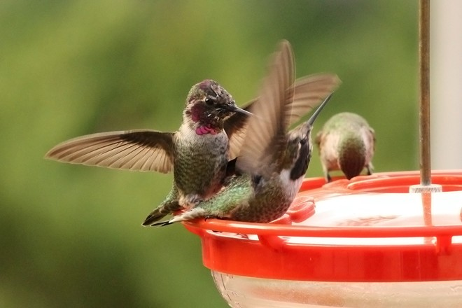 Anna's Hummingbirds at Temecula, California ©2015 Mary Welty