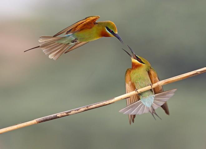 Blue-tailed Bee-eaters ©2015 Tahir Abbas
