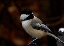 black-capped-chickadee-12-15
