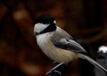black-capped-chickadee-12-15