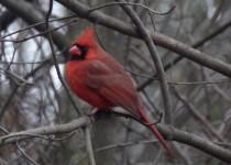 cardinalintree1215