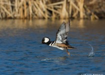 hooded_merganser_drake_flight-0140