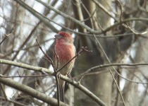 house-finch-12-26-nj