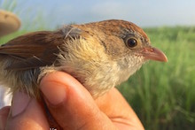 Jerdon's Babbler, rediscovered in 2014. Photo by Robert Tizard/Wildlife Conservation Society.