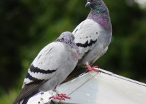 kinder-farm-park-rock-doves-pigeons