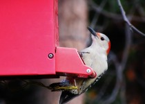 red-bellied-woodpecker-backyard
