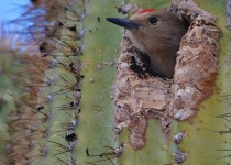 woodpecker-saguaro