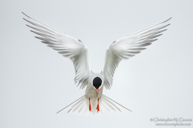 Common Tern hovering over a nesting site in Plymouth, Massachusetts.