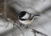 Black-capped-Chickadee-14-January-2016