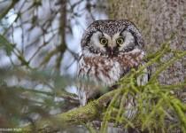 Boreal-owl-2