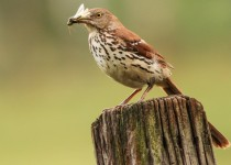 Brown-Thrasher-2012-17-BX-CR-NR-SM-1