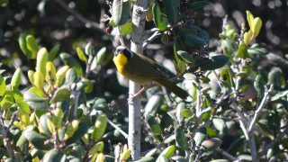 Common-Yellow-throat-8