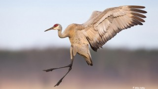 Sandhill Crane. Photo by Mike Veltri