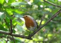 European-Robin-Kensington-Gardens-London