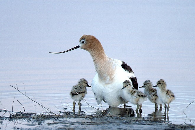 American Avocet and chicks at Malheur. Photo by Barbara Wheeler/U.S. Fish and Wildlife Service