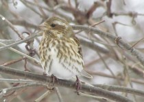 Ms.-Purple-Finch-BL