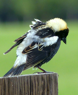 Bobolink at Malheur, May 2015. Photo by Kim Nelson