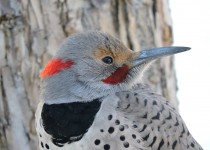 Northern-Flicker-1-Jan-2016