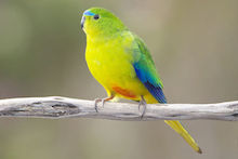 Orange-bellied Parrot, male, Melaleuca, Southwest Conservation Area, Tasmania, Australia, by JJ Harrison (Wikimedia Commons).