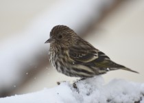 Pine-Siskin-South-Calgary-24-Jan-2016