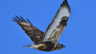 Rough-Legged-Hawk