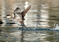 Ruddy-Duck-taking-flight