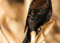 Rusty-Blackbird-2012-63-BX-CR-NR-SM-1