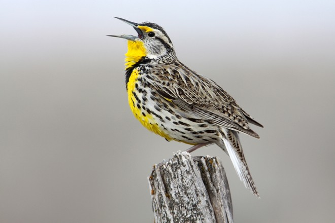 At Malheur National Wildlife Refuge, a Western Meadowlark, Oregon's state bird, sings its flute-like song. Photo by Noah Strycker